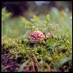 Red Toadstool mushroom