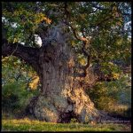 Ancient Oak Tree1