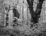 Oak trees in a beechwood
