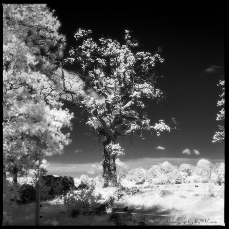 Hasselblad 503CX Efke IR820 @ISO 3 Kodak Tmax dev 1:4 for 7,5 minutes