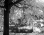 Willowtree in IR